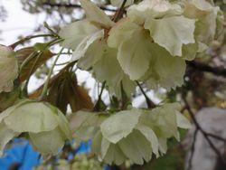 画像 055ウコン桜