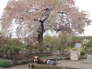 画像 062桜大木