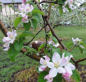 画像 058りんご花1