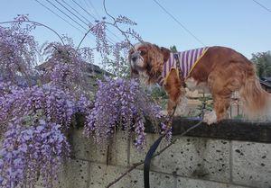 画像 057藤の花