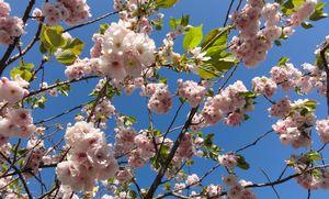 画像 063八重桜