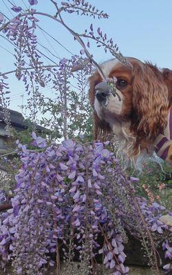 画像 057藤の花2
