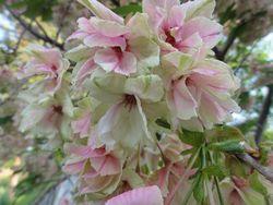 画像 088鬱金桜