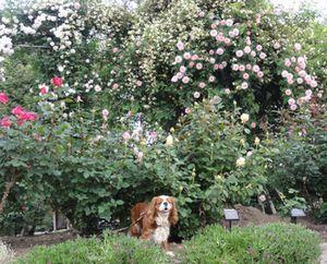 画像 079バラ花壇2