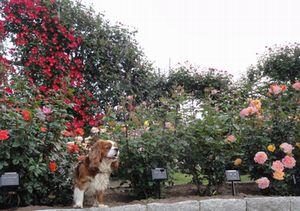 画像 080バラ花壇3