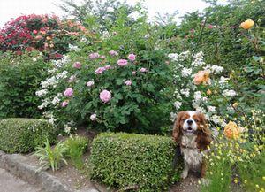 画像 084バラ花壇4
