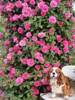 画像 076つるバラ