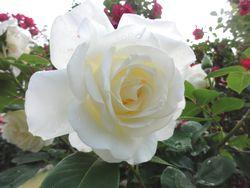 画像 081白い薔薇