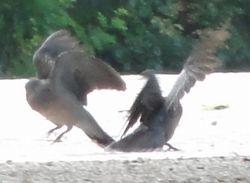 画像 110鳩の舞