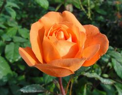 画像 111薔薇