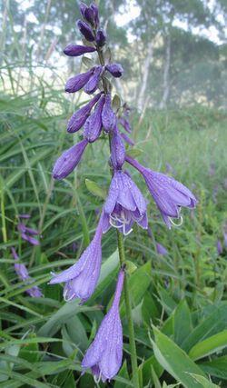 画像 100紫花