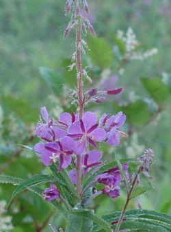 画像 096薄紫花