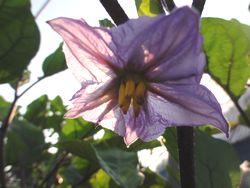 画像 095なす花