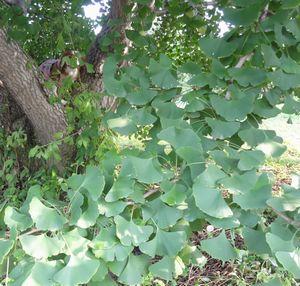 画像 097銀杏の木