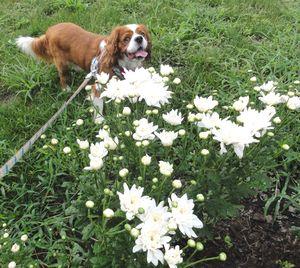 画像 098白菊