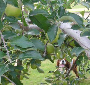 画像 101りんごの木