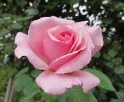 画像 099ピンクの薔薇