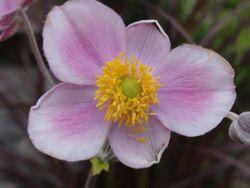 画像 099秋明菊
