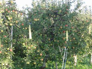 画像 098りんご畑3