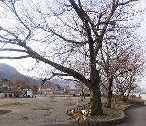 画像 137桜の樹