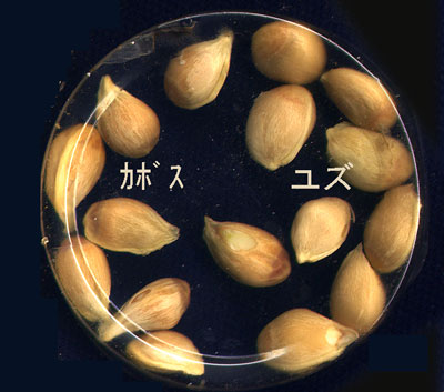 kabosu種子