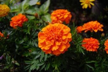 マリーゴールド オレンジ