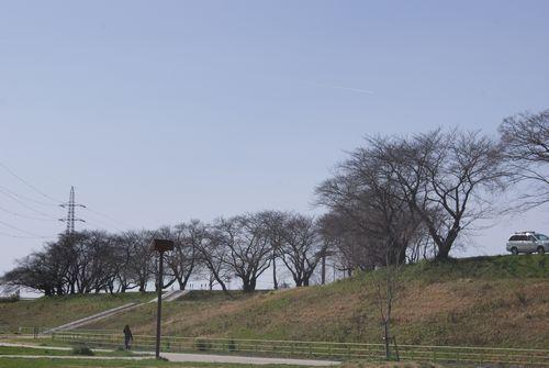 0316桜の木