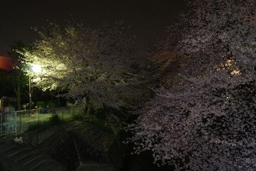 0406夜桜 (6)