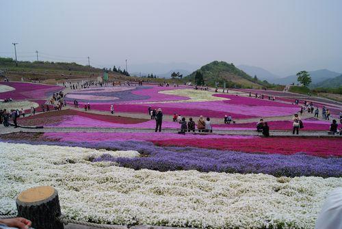 0526芝桜