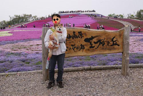 0526芝桜 (3)