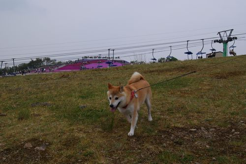 0526芝桜 (4)