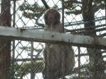 岸和田の猿