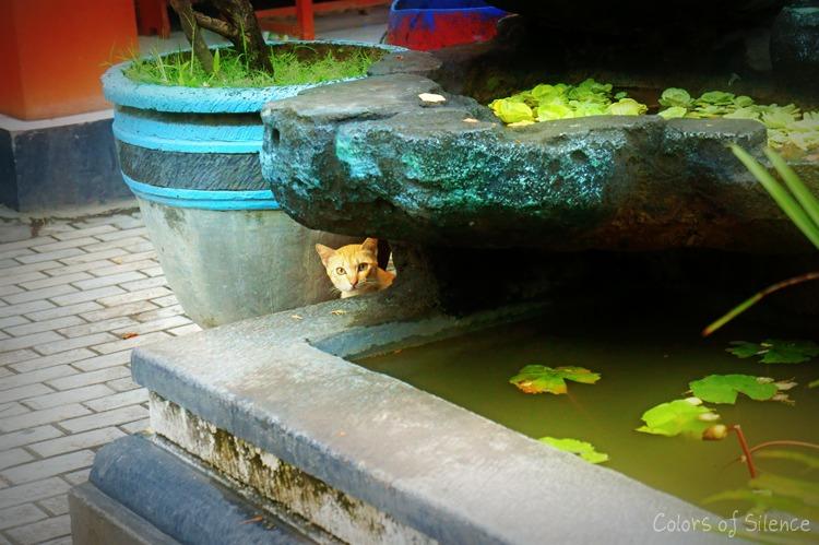 balinese cat1