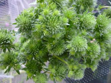 エリンギウム(エリンジウム)(緑)