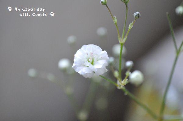 かすみ草2_1480