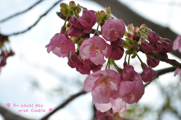 ピンクの桜_258