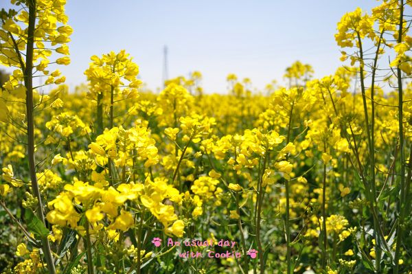 菜の花畑_271