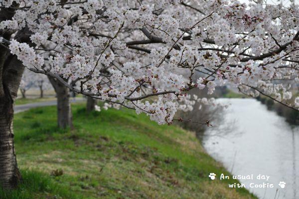 桜並木3_338