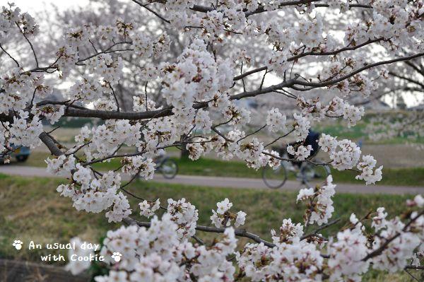 桜並木2_337