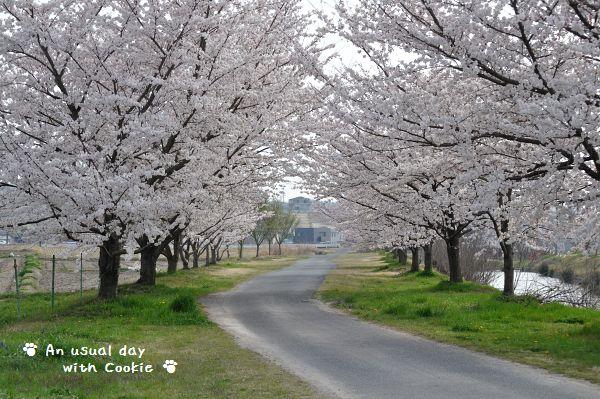 桜並木4_339