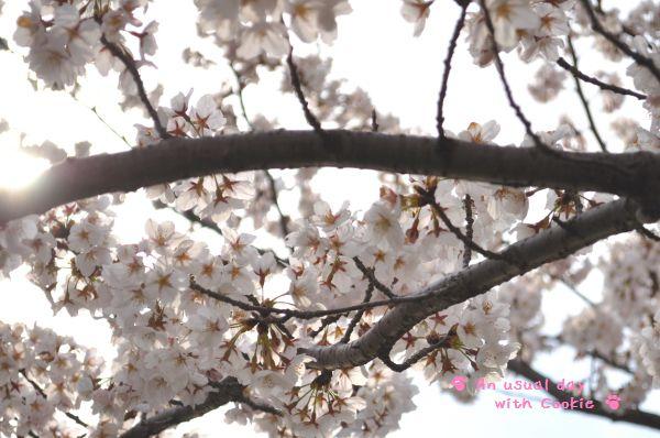 桜逆光_342