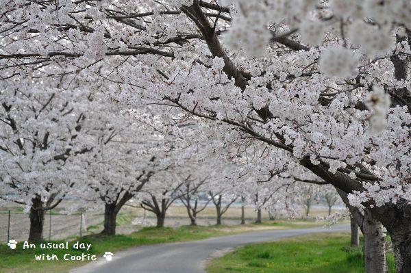 桜並木1_336