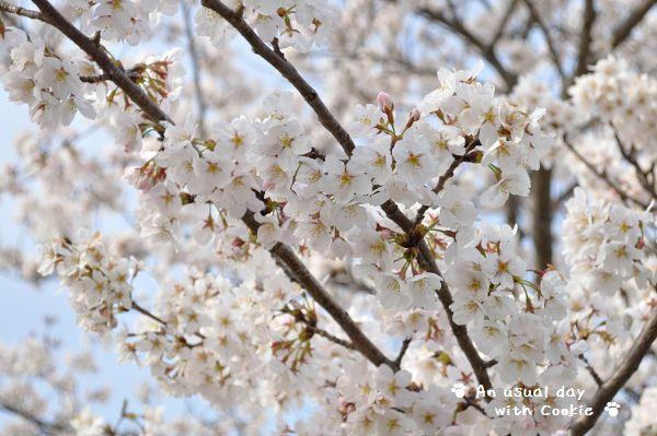桜満開_340