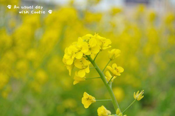 菜の花_428