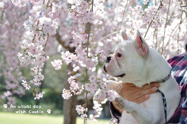 クッキーと桜1_497