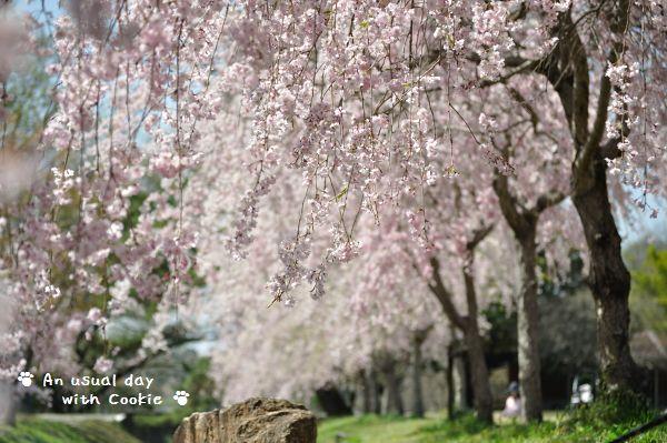 しだれ桜_487