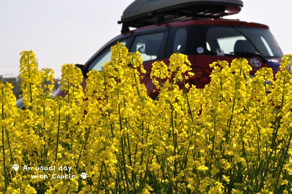 車と菜の花_526
