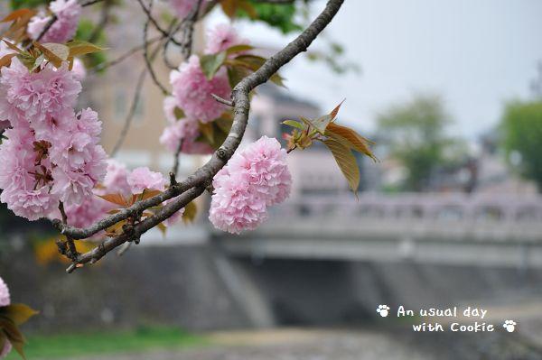 桜_834