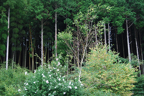 シラカバ落葉