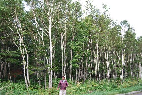 シラカバ原生林を行く